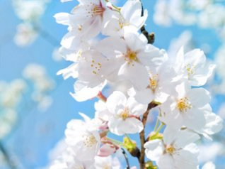 Pear flower wallpapers