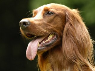 Irish Setter Pet Dog