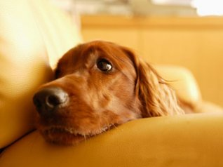 Irish Setter Pet Dog 2