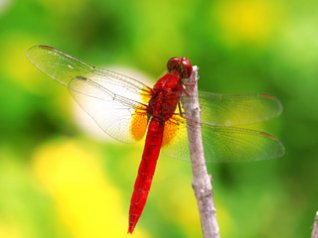 Red Dragonfly pearl 8100 wallpapers
