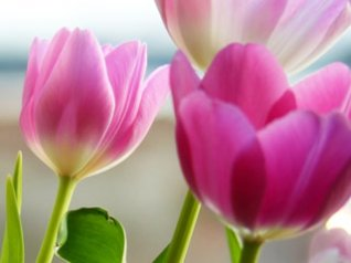 Tulips in Spring wallpapers for mobile