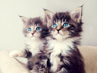 <b>Two Kittens for 8980 wallpapers</b>
