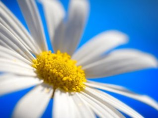 Daisy 320*240 flowers wallpapers