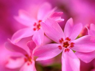 pink flower 9780 blackberry pink wallpapers