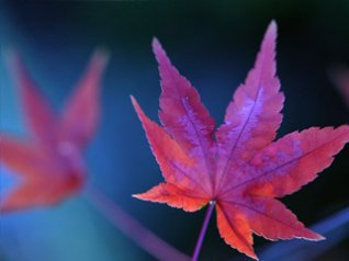 <b>blue mountain maple leaf wallpaper</b>