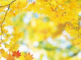 Yellow Maple Leaves - blackberry 9900 wallpaper
