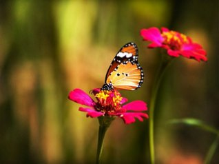 Butterfly on Carnation - cool landscapes wallpape