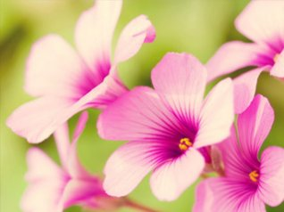 Pink Flowers for blackberry torch wallpaper