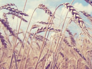 <b>Summer Wheat Fields - blackberry 9780 background</b>