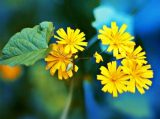 Yellow flower for blackberry 9530 wallpaper