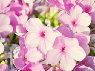 Purple flowers for bb 480x320 wallpapers