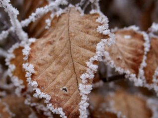 Frost-covered Leaves for bb 640x480 wallpapers