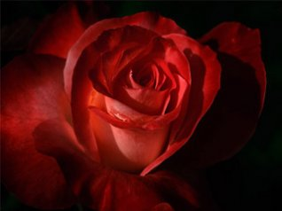 Red Rose for blackberry 9630 wallpaper