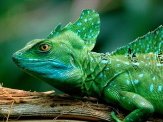 <b>HD Basilisk Lizard wallpaper</b>