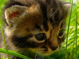 <b>HD Kitten in Grass wallpaper</b>