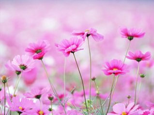 <b>Pink flower wallpaper</b>