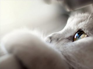 <b>White Kitty Cat Macro blackberry wallpaper</b>
